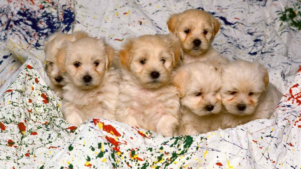 Puppy Full HD Wallpaper