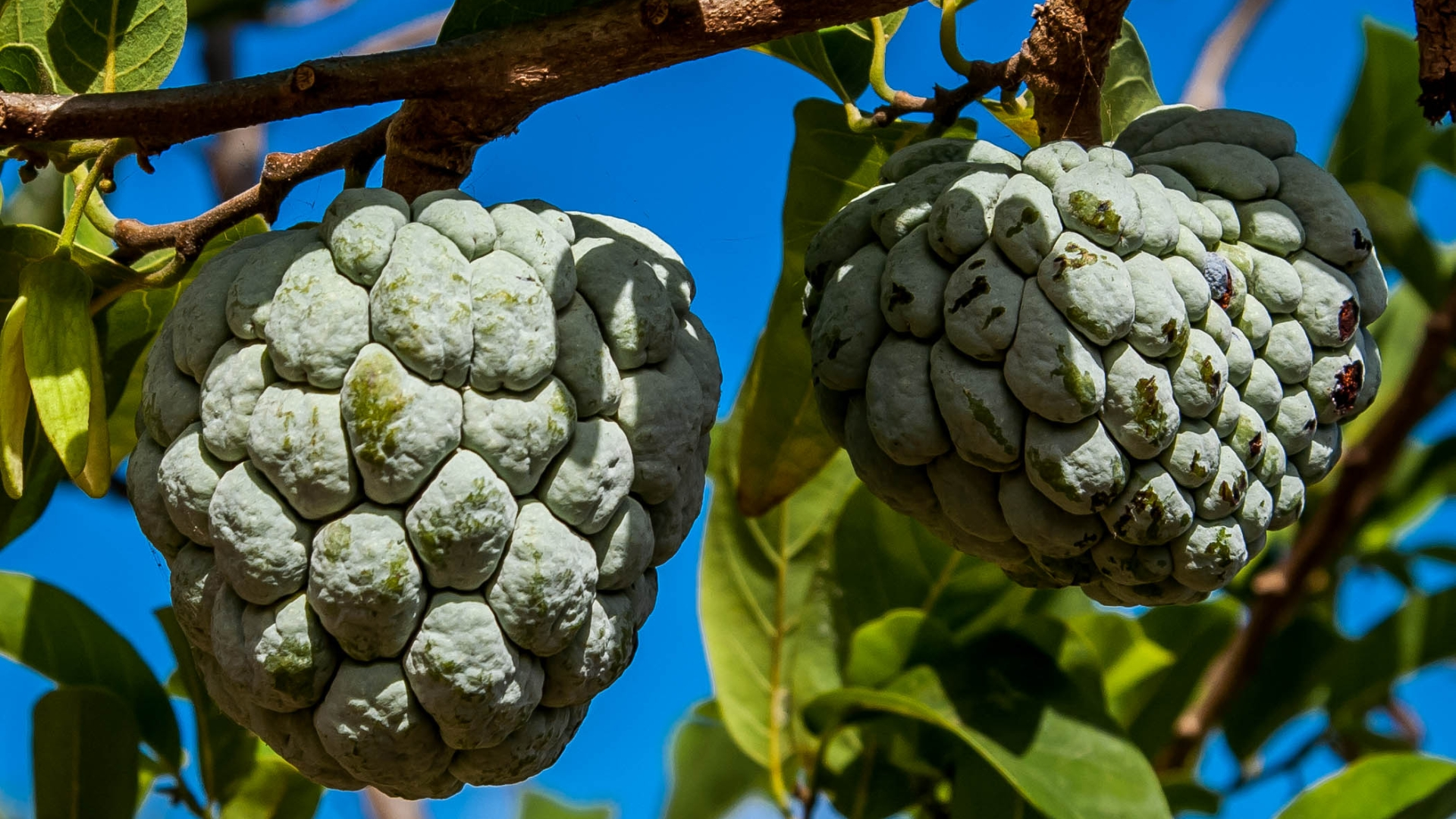 how to choose a sugar apple